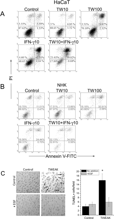 TWEAK induces apoptosis of keratinocytes.TWEAK induces the apoptosis of HaCaT cells (A) and NHKs (B) in a dose-dependent manner. HaCaT cells and NHKs were incubated in culture dishes with increasing amounts of TWEAK (10–100 ng/ml) and IFN-γ (10 ng/ml) for 48 h. The cells (including floaters) were collected and incubated with annexinV-FITC and propidium iodide for flow cytometry analysis. Control experiments were performed by incubating the cells in cell culture medium. The numbers indicate the percentage of cells within the indicated gate. The results shown are representative of three independent experiments. C. Normal human keratinocytes were examined under a microscope after the addition of recombinant TWEAK (100 ng/ml) or/and EGF (50 ng/ml) for 48 h. The characteristic membrane blebbing of the cells is shown by arrows, and quantification was performed using the TUNEL method. P values were calculated by comparing the treated cells to their relevant controls and were considered significant when P<0.05.