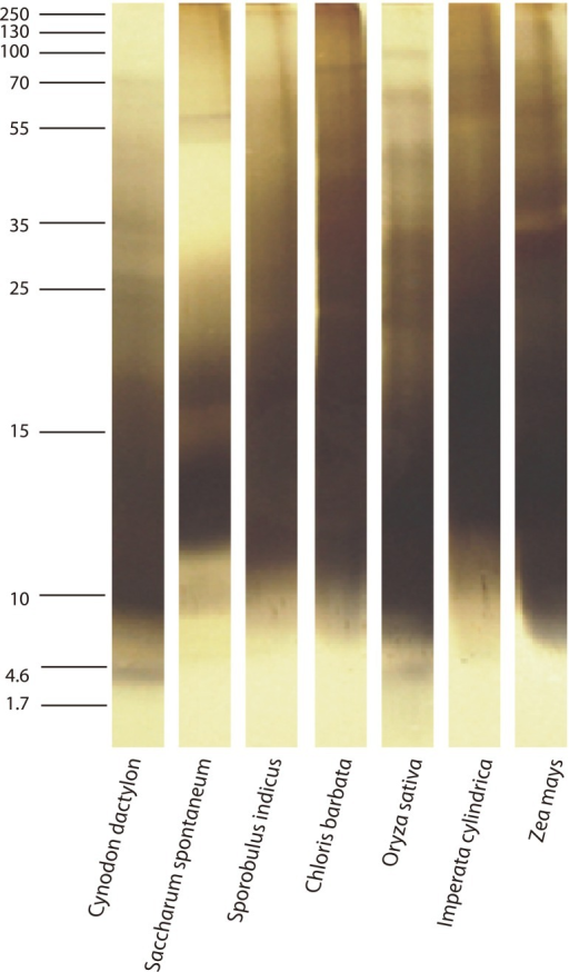 Sodium dodecyl sulfate polyacrylamide gel electrophoresis profile of the selected grass pollen extracts resolved using a 20% reducing gel and was stained with silver nitrate.