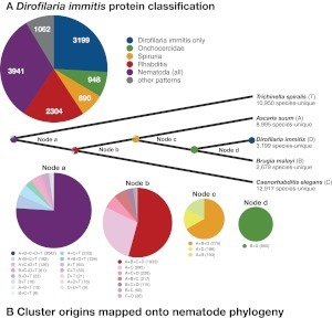 Conserved and novel genes in D. immitis. The D. immitis proteome was clustered with those of B. malayi, A. suum, C. elegans, and T. spiralis. Clusters were then classified based on the membership from the five species according to the current phylogeny of the phylum Nematoda. A) Pie chart showing the distribution of classification of D. immitis proteins: D. immitis only, singletons and clusters only found in D. immitis; Onchocercidae, clusters with members only from D. immitis and B. malayi; Spiruria, clusters with members only from Onchocercidae and A. suum; Rhabditia clusters with members only from Spiruria and C. elegans; Nematoda, clusters with members from all five species (i.e., Rhabditia and T. spiralis); and other patterns, clusters with members not fitting simply into the phylogenetic schema (probably arising from gene loss, lack of predictions, or failure to cluster in one or more species). B) Cluster numbers and patterns of conservation mapped onto the phylogeny of the five species.