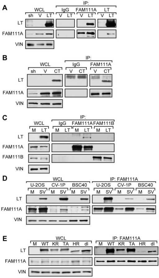 FAM111A is an SV40 LT binding protein.(A) Immunoprecipitations for FAM111A and LT with lysates from U-2 OS cells stably expressing full-length LT (LT) or vector control (V). Whole cell lysate of the U-2 OS cell line stably expressing shRNA-2 (sh) against FAM111A was used as a control for FAM111A antibody specificity and normal rabbit serum (IgG) as an immunoprecipitation control. The indicated proteins were detected by western blot analysis. (B) Immunoprecipitations for FAM111A with lysates from U-2 OS cells stably expressing the LT C-terminus (CT) or vector control (V). (C) Immunoprecipitations of FAM111A and FAM111B in U-2 OS cells expressing LT or mock (M). Levels of FAM111A, FAM111B, LT, and vinculin (VIN) were determined by western blot. (D) Immunoprecipitations of FAM111A on U-2OS, BSC40, and CV-1P cells 48 hours post-infection with wild type SV40 (SV) or mock infected (M). (E) Immunoprecipitation of FAM111A in U-2 OS cells transfected with viral DNA encoding wild type SV40 (WT), K697R acetylation mutant (KR), T701A phosphorylation mutant (TA) and host range mutants HR684 (HR) and dl1066 (dl).