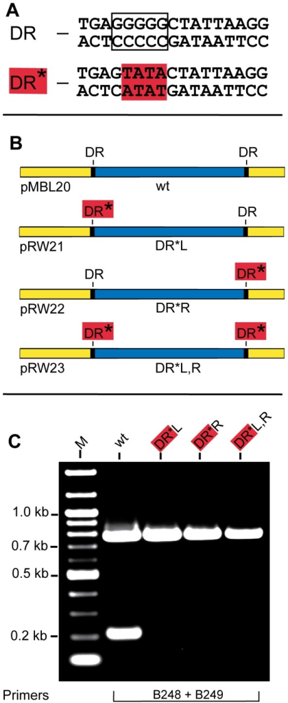 Affect of mutations in the 17 bp direct repeats on precise excision of the vlsE variable region.A) DNA sequences of the wild-type 17 bp direct repeat (DR) and a mutant 17 bp direct repeat (DR*) used in this study. Mutated bases are highlighted in red. B) Schematic showing the plasmid templates carrying wild-type DRs and a mutant DR at the left, right or both sides of the variable region. C) An ethidium bromide-stained agarose gel showing amplification of a portion of vlsE with Phusion DNA polymerase using the templates shown in Panel B with the indicated primers. Gel electrophoresis conditions were as noted in Fig. 2.
