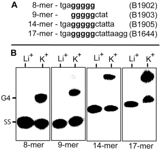G-quadruplex (G4) formation by the vlsE 17 bp direct repeat.A) DNA sequences of the oligonucleotides used to assay for intermolecular G-quadruplex formation. The shortened oligos are all deleted forms of the full length 17-mer direct repeat. B. Electrophoretic mobility shift assay for G-quadruplex formation using 5′ 32P-labeled oligonucleotides from Panel A. The 5′ end-labeled oligos were annealed by heating at 95°C for 5 minutes followed by slow cooling for 15 hours to room temperature in presence of 200 mM LiCl or KCl. The products of the annealing reaction were run at 40 volts on a 10 cm, 20% native polyacrylamide gel in TBE buffer containing 25 mM K2B4O7 run at 4°C. Separated products were detected on a Perkin-Elmer Cyclone phosphorimager. SS represents single stranded oligonucleotide and G4 indicates the position of intermolecular G-quadruplex DNA.