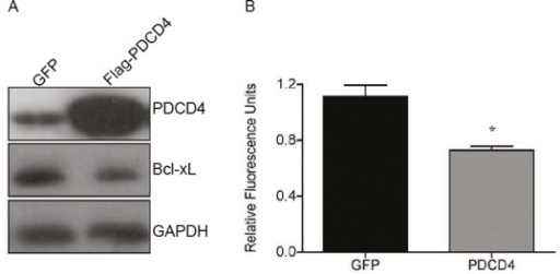 Re-introduction of PDCD4 into GBM causes reduction in Bcl-xL and cell viability(A) PDCD4 was overexpressed in U373 for 24 h followed by western blot analysis showing decrease in Bcl-xL. (B) Alamar blue analysis of cells overexpressing PDCD4 for 24 h to measure cell viability (* p<0.05).