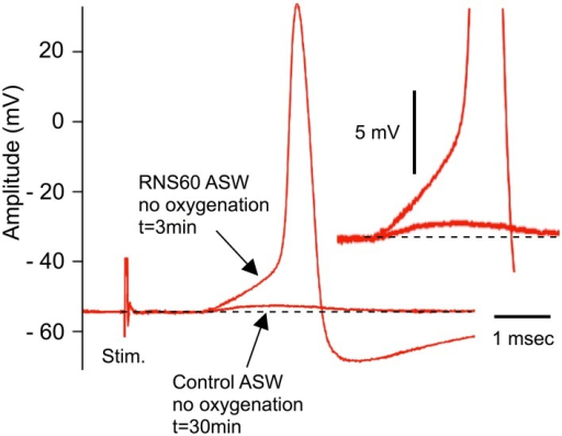 Example of recovery of evoked transmitter release by RNS60 ASW in a hypoxic synapse following electrical stimulation of the presynaptic terminal. Note small subthreshold synaptic potential after 30 min of hypoxia (lower arrow) and EPSP (upper arrow) and action potential elicited 3 min after superfusion with RNS60 ASW. Insert, amplitude magnification showing detail of the EPSP onset indicating change in amplitude without a change in release latency.