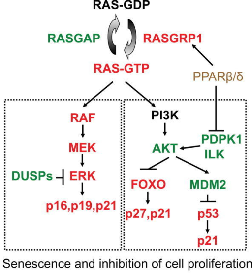 PPARβ/δ promotes HRAS-induced senescence by potentiating p-ERK and repressing p-AKT. HRAS-induced senescence is promoted by RAF/MEK/ERK pathway and inhibited by the PI3K/AKT pathway. The end result is increased expression of proteins that mediate senescence including p16, p21, p27 and p53. PPARβ/δ promotes senescence by inhibiting the PI3K/AKT pathway allowing for increased RAF/MEK/ERK activity. This is mediated by PPARβ/δ-dependent modulation of RASGRP1, PDPK1 and ILK expression.
