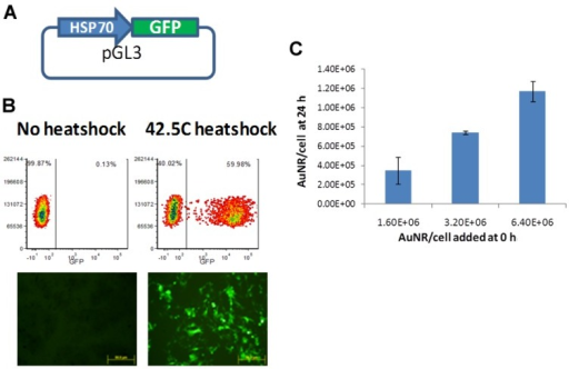 Transfection of HeLa cells with the HSP70- Enhanced Green Fluorescent Protein (EGFP) expression vector and quantitative measurement of AuNR uptake in vitro. (A) Cartoon of the expression vector; (B,C) HeLa cells were transfected with the vector using lipofectamine LTX reagent, and 24 h later the cells were either left at 37 °C or heat-shocked at 42.5 °C for 30 min. The following day, cells were analyzed for EGFP expression via flow cytometric analysis or fluorescence microscopy (B); B16-luc cells were plated in 96-well plates and AuNR were added at increasing concentrations. After 24 h, the cells were washed and lysed. The number of AuNR in each well was determined using UV/VIS spectroscopy (C); A standard curve was generated by adding known numbers of AuNR to wells, and a graph showing the number of particles present in the cells at 24 h vs. the number added at 0 h is presented.