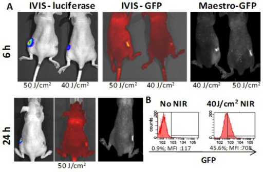 In vivo imaging of luciferase and GFP expression after NIR laser treatment. (A) B16-luciferase cells were transfected with the HSP70-GFP vector 24 h before NIR treatment and AuNR (106/cell) were added 12 h after transfection. Cells were washed before being harvested and 2 × 107 cells were injected in each flank of two nude mice. Immediately following injection, the right flank of each mouse was treated with NIR laser for 10 pulses at 30 ms at either 40 or 50 J/cm2. The left flank was left non-treated. Mice were imaged at 6 h via IVIS and Maestro in vivo imaging systems. At 24 h after treatment, one mouse was imaged as just described, and the other mouse was sacrificed and the tumor analyzed for GFP expression via flow cytometry analysis (B).