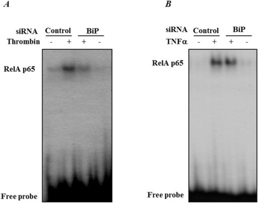 BiP knockdown blocks thrombin-induced RelA/p65 binding to DNA.HPAEC were transfected with control-siRNA or BiP-siRNA using DharmaFect1. After 24–36 h, the cells were challenged for 1 h with (A) thrombin or 0.5 h with (B) TNFα. Nuclear extracts were prepared and assayed for DNA binding of RelA/p65 by EMSA as described in the Materials and Methods. Results are representatives of two experiments.