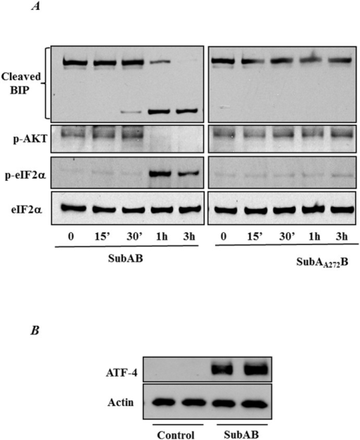 SubAB induces BiP cleavage and ER stress.(A) HPAEC were treated with 0.1 µg/ml of SubAB or mutant SubAA272B for the indicated time points. Cell lysates were immunoblotted with an anti-phospho eIF2α antibody and anti-phospho- AKT antibody to determine the induction of ER stress. The levels of total eIF2α were used to monitor loading. BiP antibody was used to monitor the cleavage of BiP by SubAB. (B) HPAECs were treated with 0.1 µg SubAB for 3 hours and cell lysates were immunoblotted for ATF-4 antibody. Actin was used as a loading control.