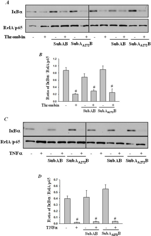 SubAB failed to block thrombin-induced IκBα degradation.HPAEC were treated with 0.1 µg/ml of SubAB or mutant SubAA272B for 6 h, followed by treatment with (A) thrombin (5 U/ml) for 1 h or with (C) TNFα (100 U/ml) for 30 min. Total cell lysates were prepared and immunoblotted with anti-IκBα antibody to determine degradation of IκBα. Levels of RelA/p65 was used to monitor loading. The bar graphs represent the effect SubAB and SuBAA272B on (B) thrombin-induced or (D) TNFα-induced IκBα degradation normalized to total RelA/p65 levels. The data are the means ± S.E. (n = 3–6 for each condition). #p<0.05 difference from controls.