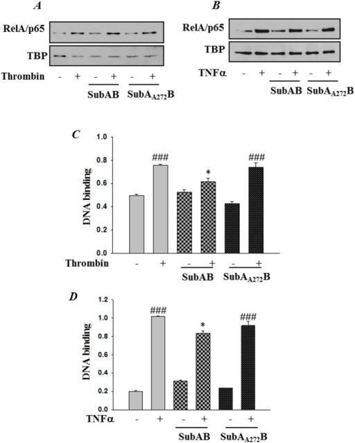 SubAB attenuates RelA/p65 DNA binding independent of its nuclear translocation.HPAEC were treated with 0.1 µg/ml of SubAB or mutant SubAA272B for 6 h, followed by treatment with (A & C) thrombin (5 U/ml) for 1 h or with (B & D) TNFα (100 U/ml) for 30 min. (A & B) Nuclear extracts (NE) were separated by SDS-PAGE and immunoblotted with anti-RelA/p65 antibody. Tata Binding Protein (TBP) was used as a loading control for nuclear extract. (C & D) Nuclear extracts were assayed for DNA binding of RelA/p65 by Cayman's NF-κB (RelA/p65) Transcription Factor Assay Kit as described in Materials and Methods. The data are the means ± S.E. (n = 6 for each condition). ###p<0.001 difference from controls; *p<0.05 difference from thrombin and TNF-α stimulated controls.