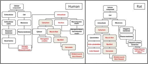 Analysis of gene categories modified in human and rat myasthenia show similar results. Scheme of the significantly enriched Gene Ontology categories in the cellular component system. Categories with significantly enriched gene numbers determined by a hypergeometric test (http://bioinfo.vanderbilt.edu/webgestalt/) are indicated in red; categories shown in black are non-enriched. GOTM analysis demonstrated a strikingly similar tree in human and rat muscle and demonstrates the involvement of genes included in the muscle fiber category (grey boxes).
