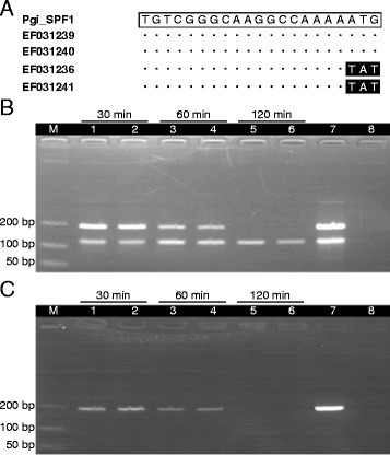 Multiplex PCR in differentiation of ginseng and American ginseng. (A) Nucleotide sequences of the forward P. ginseng-specific primer (Pgi_SPF1) with comparison to the aligned reference sequences of P. ginseng (Genbank accession number: EF031239, EF031240) and P. quinquefolius (Genbank accession number: EF031236, EF031241). Open box indicates the primer sequence, dots and closed boxes indicate nucleotides identical and different from the primer sequence, respectively. (B and C) Amplification of the extracted DNA from two vouchers of pulverized (B)P. ginseng (ICM 2005–2750, ICM 2005–2779) and (C)P. quinquefolius (ICM 1713, ICM 901276) samples by multiplex PCR using primer pair 8. Samples in herbal decoction were boiled for 30 min (lanes 1–2), 60 min (lanes 3–4) and 120 min (lanes 5–6), respectively. Lane 7 is the positive control with DNA from the concerned herbal sample and lane 8 is the negative control without DNA. Lane M represents the DNA size ladder.