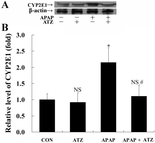 Pretreatment with ATZ decreased the level of CYP2E1 in APAP exposed mice.Mice were treated with vehicle or ATZ (500 mg/kg) at 30 min before APAP exposure. Liver samples were harvested at 8 h after APAP exposure. The levels of CYP2E1 were determined by Western blot analysis. (A) The bands of CYP2E1 and β-actin were indicated by arrows. (B) Western blots were scanned by densitometry and data presented as relative intensity units. Data were expressed as mean ± SD, n = 8. NSP>0.05, * P<0.05, as compared with the CON group; #P<0.05, as compared with the APAP group.