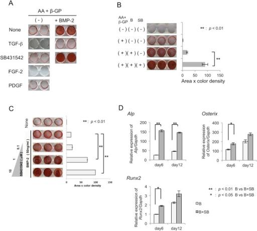 Effects of SB431542 on mineralized nodule formation by MPDL22 cells.(A) Osteogenic differentiation of MPDL22 cells was induced by culture in mineralization inducing medium with or without BMP-2 (50 ng/mL), FGF-2 (50 ng/mL) and PDGF-BB (20 ng/mL) in the presence or absence of TGF-β (4 ng/mL) and SB431542 (10 μM). Calcified nodule formation was determined at day 12 by Alizarin red staining. (B) Quantification of calcified nodule formation by MPDL22 cells induced by BMP-2 in the presence or absence of AA (50 mg/mL) plus β-GP (50 mM), BMP-2 (50 ng/mL) and SB431542 (10 μM). Densitometric analysis was applied to the scanned culture plate images at day 12. Positive scores were calculated by multiplying the stained area by its Alizarin red staining color density. B: BMP-2; SB: SB431542. **: p<0.01 vs BMP-2. (C) The effects of various concentrations of SB431542 on the mineralized nodule formation by MPDL22 cells. **: p<0.01 vs BMP-2. Quantification of the calcified nodule formation by BMP-2-stimulated MPDL22 cells in the presence of β-GP (50 mM) plus AA (50 mg/mL) with or without SB431542 (0.1, 1.0, and 10 μM). (D) The relative quantification of ALP, Runx2, and Osterix mRNAs during osteogenic differentiation of MPDL22 cells by BMP-2 (50 ng/mL) after treatment with or without SB431542 (10 μM) for 2 days. MPDL22 cells were harvested at days 6 and 12 and the isolated mRNA was assessed by RT-qPCR. Quantitative mRNA values were normalized to the amount of GAPDH mRNA. **: p<0.01 vs BMP-2; *: p<0.05 vs BMP-2.