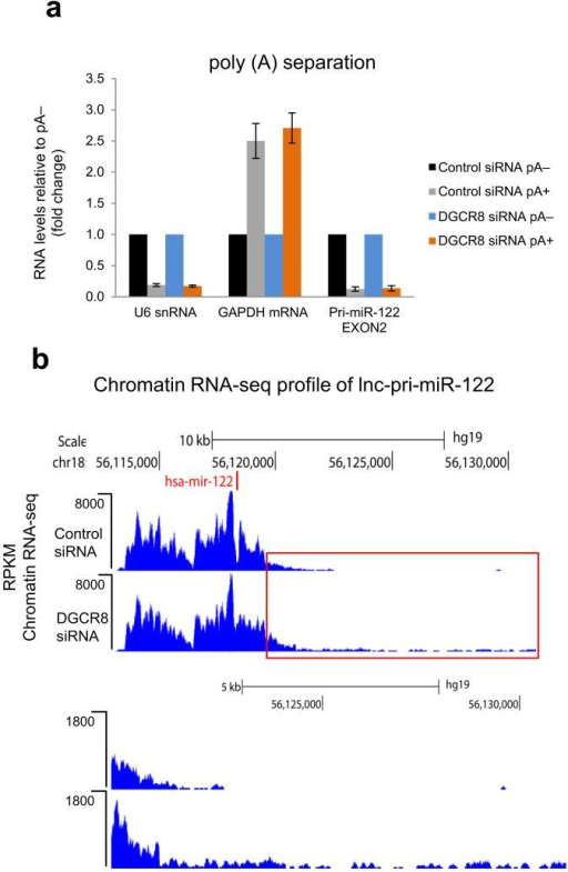 Microprocessor depletion leads to generation of pA− transcriptional readthrough products on lnc-pri-miR-122a. RT-qPCR analysis of lnc-pri-miR-122 versus U6 snRNA or GAPDH mRNA controls using pA+ or pA− fractionated RNA from siRNA-treated Huh7 cells. pA+ RNA levels are expressed relative to pA− which were set to 1. Error bars represent s.d. of an average (n=3 independent experiments). b. Chromatin RNA-seq analysis of lnc-pri-miR-122 in control or DGCR8 siRNA-treated Huh7 cells. Red boxed 3′ region is shown below at higher magnification. Position of miRNA (miR-122) is shown by red vertical line.