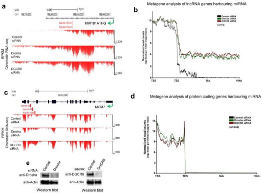 Microprocessor dependent chromatin RNA-seq profiles across pri-miRNA from HeLa cellsa. Reads (RPKM) across (MIR181A1HG) showing readthrough profiles following Microprocessor depletion. b. Metagene analysis of all expressed lnc-pri-miRNA. c. Reads across a protein coding gene (MCM7) harboring an intronic miRNA cluster showing intron accumulation following Microprocessor depletion d. Metagene analysis of all expressed protein coding genes harboring miRNAs. Direction of transcription indicated by green arrow and positions of miRNA by red vertical lines in a and c. Metagene profiles show transcription unit (between transcription start site, TSS and transcription end site, TES) followed by 10 kb of 3′ flanking region in b and d (Mann–Whitney U-test, P < 0.0001, two-tailed, n = 1400, for both cases). e. Western blot showing effective depletion of Drosha and DGCR8 by siRNA transfection in HeLa cells.