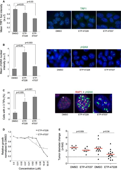 Efficient chemical inhibition of TRF1 telomere binding by compounds ETP-47228 and ETP-47037 in mouse lung adenocarcinoma-derived cellsQuantification of TRF1 levels by immunofluorescence in lung tumor-derived cell line treated with DMSO, with 10 μM ETP-47228 (24 h), and with 10 μM ETP-47037 (48 h). Representative images are shown to the right.Quantification of γH2AX levels by immunofluorescence in lung tumor-derived cell line treated with DMSO, with ETP-47228 (24 h), and with ETP-47037 (48 h). Representative images are shown to the right.Quantification of telomere-induced foci (TIFs) by double immunofluorescence with anti-RAP1 and anti-γH2AX antibodies. Representative images are shown to the right. White arrowheads: colocalization of γH2AX and RAP1.Effect of different ETP-47228 and ETP-47037 concentrations during 24 h on proliferation in lung tumor-derived cell line relative to the growth of DMSO-treated cells.Tumor growth quantification in allograft model ETP-47037 or with ETP-47228.Data information: The data represent the mean values of two to three independent experiments (A–D). Error bars represent standard errors. t-test was used to assess statistical significance.