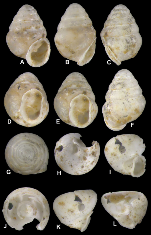 Koreozospeumnodongense sp. n., A–G different views of holotype (NMBE 534197/1) H–L different views of body whorl fragment of paratype (NMBE 534361/2) H umbilical notch I, K side view of umbilical region J areal view of columella surrounded by the single, low annular lamella L side view of lamella and orientation to the columella.