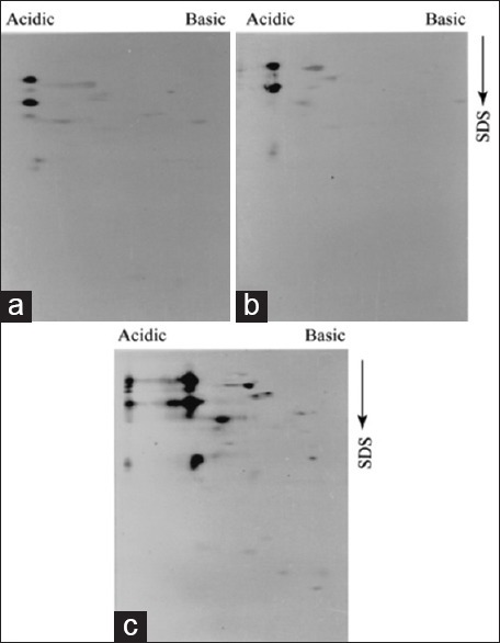 Low molecular weight and antigenically diverse immunoreactive proteins are not recognized by avirulent serum. Promastigote proteins (100 μg) were analyzed by 2-D PAGE followed by immunoblot experiments with 1:20 dilution of avirulent serum. GE1 (a), GE2 (b), and SL (c) display very similar antigen pattern though few additional spots were detected in SL extract