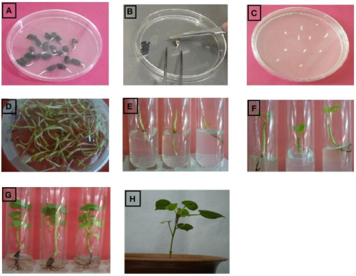 Complete protocol of agrobacterium mediated transformation in cotton plant embryos. (A) germinated cotton seeds, (B) isolation and injuring of cotton embryos, (C) Agrobacterium treated embryos on MS medium, (D) Agrobacterium treated embryos on MS medium after 3 days, (E) implantation of cotton embryos in test tube containing MS medium with kanamycin, (F) shoot growing on MS medium containing kanamycin selection, (G) root development on MS rooting medium, (H) transgenic cotton plants shifted to soil for acclimatization.