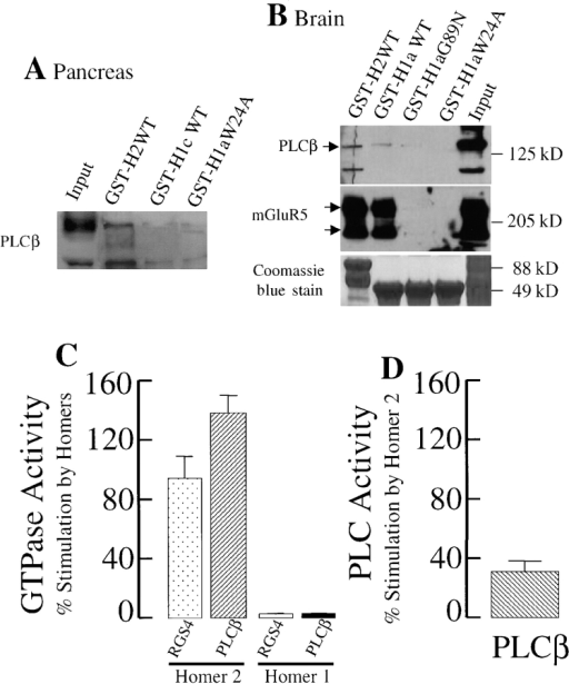 Interaction of Homers with PLCβ and effect of Homer 2 on RGS4 and PLCβ GAP activity and PLCβ PIP2 hydrolytic activity in a phospholipid reconstitution system. (A and B) Soluble lysates from (A) pancreatic acini or (B) adult rat forebrain were assayed for binding to GST-Homer fusion proteins. (A) Homer 2, but not Homer 1c and the mutant Homer 1aW24A, binds PLCβ. (B, top) PLCβ binds full-length Homer 2 preferentially to WT Homer 1 EVH domain or to the Homer 1 mutants W24A and G89N. Input lanes are 10% of that used for the binding assay. (Middle) mGluR5 binds strongly to both Homer 2 and WT Homer 1, but not to the mutants. (Bottom) Coomassie stain of gel showing GST proteins. (C and D) Recombinant, purified M1 receptor, and Gαβγ heterotrimer were reconstituted into liposomes containing PIP2 and used for measurements of (C) GTPase activity or (D) PIP2 hydrolysis. GTPase activity was measured in the absence and presence of 2–5 nM RGS4 or 2 nM PLCβ, and in the absence and presence of 250 nM Homer 2 or 1. GTPase activity was initiated by stimulation with 1 mM carbachol. C shows the results of six experiments with RGS4, four experiments with PLCβ performed in duplicate with two separate batches of Homer 2, and two experiments performed in duplicate with Homer 1 and RGS4 or PLCβ. The proteoliposomes were also used to assay PLCβ activity by measuring hydrolysis of (D) PIP2. The results in D are from seven experiments performed in duplicates and with two batches of Homer 2. Stimulation by Homer 2 was calculated as a percentage of the activity measured in the absence of Homers 1 and 2 and the presence of RGS4 or PLCβ. GAP activity in the absence of Homer 2 and the presence of RGS4 or PLCβ averaged 4.62 ± 0.7 (n = 9) and 4.16 ± 0.34 (n = 7) pmol Pi released/min/pmol Gq, respectively. Basal PLC PIP2 hydrolytic activity averaged 2.01 ± 0.12 (n = 10) pmol IP3 released/min/pmol PLCβ. The results are expressed as the mean ± SEM.