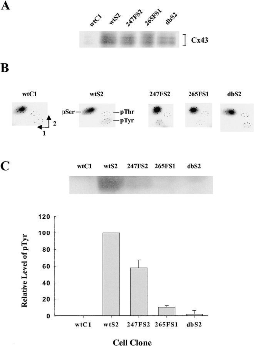 Phosphorylation of wt or mutant Cx43 in v-Src–expressing cells. (A) Immunoprecipitation of Cx43. Confluent cells were metabolically labeled with 32Pi. Cx43 was immunoprecipitated from cell lysates with Cx43CT368 antiserum under conditions of antigen excess. The positions of multiple isoforms of phosphorylated Cx43 are shown by brackets. (B) Phosphoamino acid content of Cx43 immunoprecipitated from the cell clones. Immunoprecipitated 32P- labeled Cx43 was acid hydrolyzed and separated in two dimensions as indicated. (C) pTyr content of Cx43 from the cell clones. Cells were grown to confluence and the same amount of Cx43CT368 antiserum was used to immunoprecipitate Cx43 from cell lysates under conditions of antigen excess. The pTyr content of Cx43 was detected with a pTyr antibody (top). Quantitation of pTyr in Cx43 is shown in the bottom part of the figure. The average relative amounts of pTyr of Cx43 were obtained from scans of the Cx43 images of the top and from a second experiment. The levels of pTyr of Cx43 from wtC1 and wtS2 were normalized to 0 and 100%, respectively.