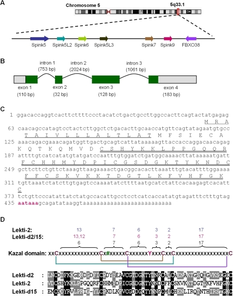 Molecular identification of the Spink9 gene.(A) Schematic physical map of human SPINK genes locus (5q33.1). Genes are ordered from centromere (left hand side) to telomere (right hand side). (B) Schematic diagram of the Spink9 gene, based on its cDNA isolated from foreskin-derived keratinocyte identified by RT-PCR. It consists of four exons and three introns. The positions of the exons (boxes) and introns (curve lines) of Spink9 are deduced by comparing its full-length cDNA sequence with the corresponding genomic DNA. 5′/3′-UTRs and coding sequences are indicated by gray- and green-filled boxes, respectively. (C) The full-length cDNA sequence of Spink9 and its predicted protein sequence. The N-terminal signal peptide (residues 1–16; underlined) and the Kazal domain (residues 32–86; double-underlined) were detected with the SMART algorithm. The poly(A) signal site was coloured green. (D) Common characteristics of Lekti2 and Lekti. The alignment of the Kazal domains of Lekti-2 and Lekti domains 2 and 15 were generated by using M-COFFEE, displayed by using GeneDoc and shown in the down panel. The middle panel shows a schematic pattern of the typical Kazal domain including conserved tyrosine residue (Y) and disulfide bonds [14]. # represents the residue at the P1 site. The residue numbers spacing the cysteine residues are indicated on the top panel for the Kazal domain, LEKTI-2 and the LEKTI domains 2 and 15, respectively.