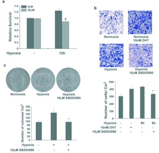 Inhibition of p38 MAPK reduces survival and invasion of LNCaP cells(a) LNCaP cells were pre-treated with 10μM SB203580 for 1 hour and then incubated in hypoxia for 12h. Cells were stained with crystal violet to determine survival. Data points represent mean ± S.D of duplicate experiments done in triplicate (* indicates p<0.05 compared to normoxia control, n=6). (b) LNCaP cells were incubated in hypoxia for 8h either in absence of androgens either with or without 10μM SB203580. Equal numbers of cells were seeded in Boyden chambers and one set of cells not subjected to hypoxia, were allowed to invade in presence of 10nM DHT. 48h later invaded cells were stained with Crystal Violet (Upper Panel). Representative images from two individual experiments done in duplicate are shown. Cells that invaded through matrigel were quantified (Lower Panel) as before and each data point represents mean ± S.D (* indicates p<0.05 compared to cells incubated in hypoxia in androgen free medium and uninhibited p38 MAPK, n=4). (c) LNCaP cells were incubated in hypoxia either with or without 10μM SB203580 for 12 hours and colony formation in soft agar was assayed (Upper Panel). Representative images from duplicate experiments done in triplicate are shown. Number of colonies was quantified as before (Lower Panel). Each data point represents mean ± S.D (* indicates p<0.05 compared to control, n=6).