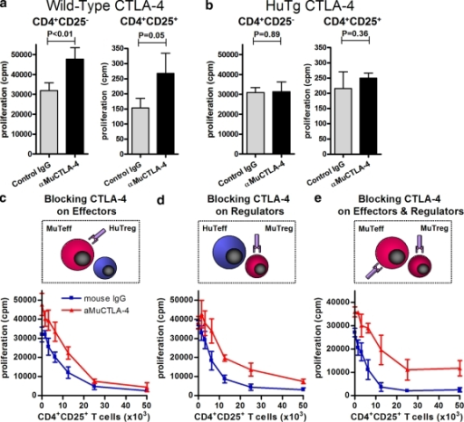 Unicompartmental blockade with aMuCTLA-4 during in vitro suppressor assays suggests both cell autonomous and non–cell autonomous activities of CTLA-4. Suppressor assays were performed using mixtures of WT and HuTg cells. (a and b) Proliferation of 50,000 purified WT or HuTg CD4+CD25− and CD4+CD25+ T cells in response to T cell–depleted splenocytes and anti-CD3 and in the presence of control IgG or aMuCTLA-4, confirming the species specificity of the CTLA-4 blockade. (c) Unicompartmental blockade of 50,000 WT CD4+CD25− T cells with aMuCTLA-4, compared with control IgG during in vitro suppression by addition of increasing numbers of HuTg CD4+CD25+ T reg cells. (d) Unicompartmental blockade of WT CD4+CD25+ T reg cells with aMuCTLA-4, compared with control IgG during in vitro suppression of 50,000 HuTg CD4+CD25− T cells. (e) Bicompartmental blockade of both WT CD4+CD25− Teff and CD4+CD25+ T reg cells with aMuCTLA-4, compared with control IgG during in vitro suppressor assays. Data in a–e represent three or more independent experiments, and in each group replicates were performed as quintuplets. Error bars indicate SD.