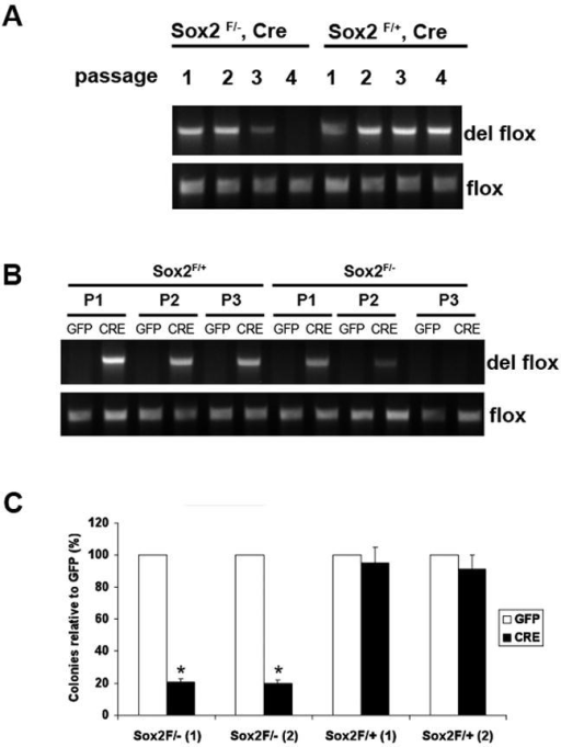 Sox2 inactivation impairs proliferation of primary osteoblasts(A) PCR analysis of primary osteoblast DNA. Primary calvarial osteoblasts were prepared from Sox2flox/-;Cre (cko) mice and Sox2flox/+;Cre (control). Upon confluency, cells were passaged and DNA was extracted at each passage. The deleted flox and the flox allele were detected by PCR using specific primers to assess persistence of Sox2- cells. Numbers indicate passage number following isolation.(B) PCR analysis of GFP- and Cre-virus infected primary osteoblast DNA. Primary osteoblasts from Sox2 flox/+ (control) and Sox2 flox/- (cko) mice were infected with GFP or Cre-adenovirus and passaged after infection. DNA was extracted from each passage and the deleted flox allele was detected by PCR using specific primers to check for persistence of Sox2- cells.(C) Colony Assay. Primary calvarial osteoblasts from Sox2 flox/+ (control) and Sox2flox/- (cko) mice were infected with either GFP or Cre-adenovirus for 72 hours and plated in triplicate in 6-well plates. Colonies were counted after crystal violet staining. Percent of colonies obtained in Cre infection are plotted as a percentage of the colonies in the corresponding GFP infection in two independent Sox2 flox/- and Sox2 flox/+ osteoblast pools [(1) and (2)]. * = p<0.05. GFP Adenovirus infection of Sox2flox/- or Sox2flox/+ cells produced equivalent number of colonies (~120 colonies/plate).