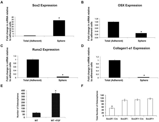 Sox2 is enriched in osteospheres and is required for osteosphere formation(A-D) Osteospheres from osteoblasts derived from P1 calvaria of wild type mice were collected by straining through a 40 μM strainer and RNA was extracted from the spheres. Gene expression of Sox2 (A), Osterix (B), Runx2 (C), and Collagen1-a1 (D) was analyzed by qRT-PCR using specific primers. All values are normalized to actin as an internal control and are expressed relative to total (adherent) cells in each case. * = p<0.05(E) Primary calvarial osteoblasts were plated in suspension culture in the presence or absence of 10 ng/ml recombinant FGF1. Spheres were counted after 7 days. * = p<0.05(F) Primary P1 calvarial osteoblasts from control (Sox2 flox/+;Cre, Sox2flox/- and Sox2flox/+) and cko (Sox2flox/-;Cre) littermates were plated in triplicate in 6 cm Corning ultra-low attachment plates. Total number of osteospheres was counted after 7 days. * = p < 0.05