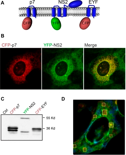 NS2 and p7 interact in FRET-FLIM analyses.(A) Schematic representation of the constructs used in this study. (B) Immunofluorescence analysis of the co-expression of CFP-p7 and YFP-NS2. U2OS cells were co-transfected with plasmids expressing CFP-p7 and YFP-NS2. At 24h post-transfection, the subcellular localization of the different proteins was assessed by confocal microscopy. (C) Western blot analysis of the expression of CFP-p7, YFP-NS2 and CFP-EYF. U2OS cells were transfected with plasmids expressing CFP-p7, YFP-NS2 or CFP-EYF. At 24h post-transfection, cells were lysed and protein expression was confirmed by SDS-PAGE followed by Western blotting. (D) FLIM analyses. Samples were subjected to FLIM and color coded maps were obtained. The regions where the FRET events are present are marked with squares. The colors represent the progression from minimum (yellow) to maximum (blue) fluorescence lifetime.