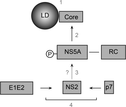 Model of NS2 role in the assembly process.Upon viral polyprotein translation and processing, three viral modules are formed: the core protein (C), the replication complex (RC) and the E1E2p7NS2 complex. E1E2p7NS2 complex assembles through the interaction of E1E2 heterodimer and p7NS2 unit (4) and migrates close to the RC independently of core protein due to signals present in p7NS2 and E2 (3). The core protein localizes around the LDs (1) where it recruits the RC by core-NS5A interaction (2).