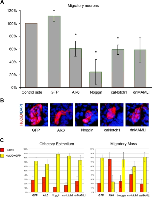 The generation of migratory neurons is regulated by Notch and BMP signaling.(A) The total number of migratory neurons was unaffected by electroporation of GFP, but was significantly decreased (* = p<0,05 by t-test) in the Alk6-, Noggin- and caNotch1-electroporated olfactory pit compared to the non-electroporated side. Electroporation of dnMAMLI resulted in a non-significant decrease of migratory neurons compared to the non-electroporated side. (B) Immunohistochemical images of the generation of HuC/D+ migratory neurons in electroporated embryos. Both gain-and-loss of BMP and Notch function reduced the number of migratory HuC/D+ neurons. (C) Graphs indicate the percentages of HuC/D+ neurons (red) and HuC/D+/GFP+ neurons (yellow) in the olfactory epithelium and in the migratory mass. Error bars in A and C indicate s.e.m.