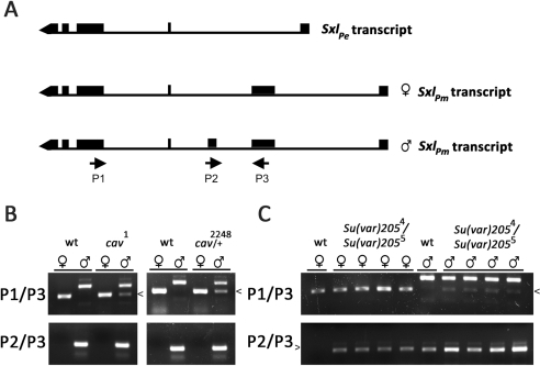 Aberrant sex-specific SxlPm-derived transcripts are observed in mutants for HOAP and in mutants for HP1.(A) RT-PCR was used to specifically amplify male- or female-specific SxlPm transcripts. The P1/P3 primer pair amplifies a 482 bp product from the female-specific transcript and a 672 bp product from the male-specific transcript in wild type animals (labeled wt in all three panels). The P2/P3 pair amplifies a 284 bp product from a male-specific transcript in males only. (B) Pools of RNA from individually sexed male or female cav1 homozygous or cav2248 heterozygous embryos failing to progress to the larval stage were used in RT-PCR assays with both P1/P3 (top panel) and P2/P3 (bottom panel) primer pairs, revealing the presence of aberrant female-specific SxlPm transcripts in male embryos (arrowhead). RT-PCR assays of RNA from four different individually sexed Su(var)2054/Su(var)2055 female (♀) or male (♂) larvae, each with both P1/P3 (top panel) and P2/P3 (bottom panel) primer pairs revealed the presence of aberrant sex-specific SxlPm transcripts in both sexes. The methods used to genotype and sex individual embryos and larvae are described in Materials and Methods.