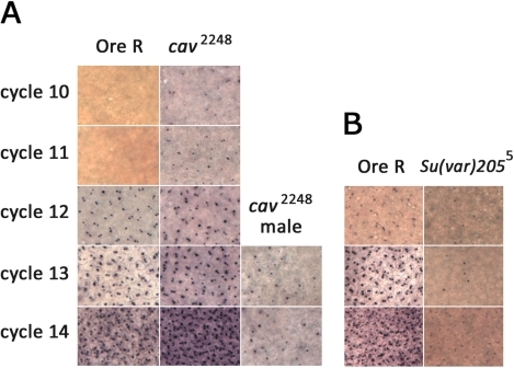 In situs for SxlPe transcripts in embryos from wild type, cav2248/TM3, Sb, or Su(var)2055/CyO parents.Comparisons of the same-sized area of images taken at 40×. (A) SxlPe transcripts are present only in Ore R wild type females (containing 2 dots per nucleus) during cycle 12 to 14. SxlPe transcripts are present in female embryos from cav2248/TM3 parents as early as cycle 10. SxlPe transcripts are also frequently present in male embryos from cav2248/TM3 parents (single dot per nucleus, usually near nuclear periphery where the dosage compensated X chromosome resides [62]. Not much signal is detected before cycle 13 in males. (B) Poor SxlPe expression is observed in embryos from Su(var)2055/CyO parents in comparison to simultaneously stained embryos from Ore R wild type parents.