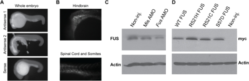 expression of tdp43 in development of als model zebrafish Amyotrophic lateral sclerosis  development of cell and animal models aiming to evaluate fus  zebrafish are an established vertebrate model and have been.