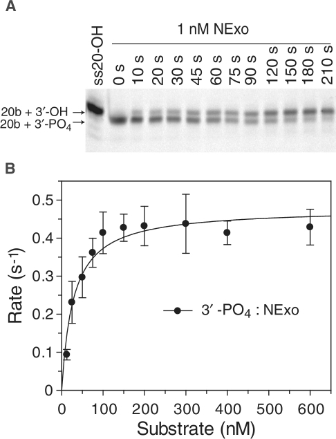 NExo is an efficient 3′-phosphatase. (A) 50-PO4 (Table 1) was used as the substrate to measure removal of a 3′-blocking PO4 from an internal AP site. NExo (1 nM) was incubated with 50-PO4 (50 nM) under standard phosphatase assay conditions and aliquots removed at the indicated time points, quenched and resolved by denaturing 20% PAGE. (B) A number of reactions were performed with varying substrate concentrations using substrate 20-PO4 (Table 1); quantified data are shown with the best fit to the Michaelis–Menten equation with kcat = 0.49 ± 0.02/s and Km = 28 ± 6 nM.