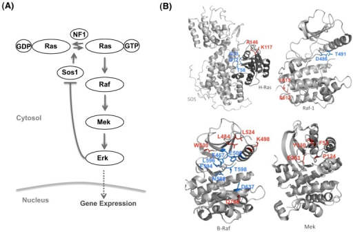The mutations studied in the MAPK model.(A) A scheme of the MAPK pathway. (B) Mapping the mutations onto the three dimensional structures; mutations located at or close to the active site are colored in blue, otherwise colored in red.