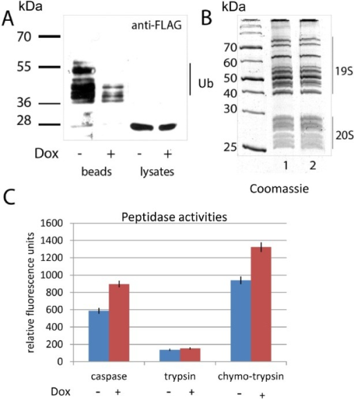 Doxorubicin treatment enhances the activity of proteasomes concomitant with a decrease in ubiquitylationA. H1299 cells, ectopically expressing PSMA5-FLAG and His-tagged ubiquitin were treated with doxorubicin or DMSO for 6 hours. Cells were lysed in denaturing conditions. Ubiquitylated proteins were precipitated with Ni-NTA beads, and the ubiquitylated isoforms of PSMA5-FLAG were detected by western blotting with M2 anti-FLAG antibodies. Positions of ubiquitylated isoforms of the PSMA5-FLAG protein are shown.B. 26S proteasomes were purified from K562 cells non-treated (lane 1) or treated with doxorubicin (lane 2). Resulting proteins were separated by SDS-PAGE and visualized by Coomassie staining. Positions of 19S and 20S sub-complexes in the gel are shown.C. Proteasomes extracted from K562 cells non-treated (white bars) or treated with doxorubicin (shaded bars), were compared for their peptidase activities (trypsin-like, chymotrypsin-like and caspase-like) using specific fluorogenic peptides. Peptidase activities of each sample were tested in triplicates. Standard deviations are shown.