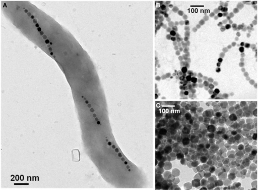 Transmission electron microscopy images of a single magnetotactic bacterium (A) of chains of magnetosomes extracted from whole magnetotactic bacteria (B) of individual magnetosomes detached from the chains by heat and SDS treatment (C).