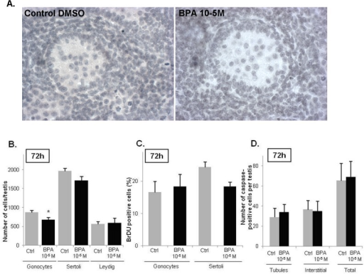 BPA effects at 10-5M on the testicular histology and testicular cells.A) A treatment with 10-5M of BPA did not affect the morphology and the testis organization of the fetal rat. B) Effect of 10-5M of BPA on the total number of gonocytes, Sertoli cells and Leydig cells. Values are mean ± SEM of 4–7 fetuses. Responses to BPA were measured by comparing one control testis (DMSO-treated) with the contralateral testis cultured in medium containing the tested factor. C) Quantitative analysis of BrdU incorporation into gonocytes and Sertoli cells after 72 h of culture measured as the percentage of BrdU-positive gonocytes or Sertoli cells in at least 1000 cells (n = 4 fetuses). D) Apoptosis was detected using a cleaved-caspase 3 staining, caspase-3 being cleaved in the cells undergoing apoptosis. Caspase 3-positive cells were counted on the whole testis with regard to their tubular or interstitial localization (n = 5 fetuses). *p < 0.05 by Wilcoxon signed rank tests on paired data.