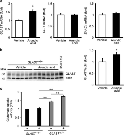 Arundic acid increases GLAST expression and transport activity in the mouse retina. (a) Effects of arundic acid treatment on GLAST, GLT1 and EAAC1 mRNA levels in the retina of GLAST+/− mice. Arundic acid (10 mg/kg, given daily from P22 to P35) increased the GLAST mRNA level (N=6), whereas the mRNA levels of GLT1 (N=6) and EAAC1 (N=6) are unaffected. *P<0.05 as determined by a Student's t-test. (b) Arundic acid (10 mg/kg) increases GLAST protein expression in the retina of GLAST+/− mice relative to vehicle-treated control mice (N=6). A representative western blot of GLAST protein expression is shown; the quantified data represent the mean±S.E.M. *P<0.05 as determined by a Student's t-test. (c) Effect of arundic acid on glutamate uptake activity in the retina of GLAST mutant mice. Relative glutamate uptake velocity was quantified from six independent experiments performed in duplicate for each data point. Data represent the mean±S.E.M. *P<0.05, **P<0.01 as determined by one-way ANOVA with Tukey–Kramer's post hoc analysis