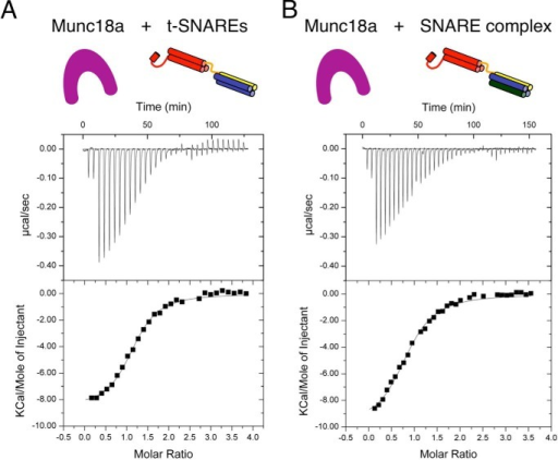 Munc18a binds soluble t-SNAREs and SNARE complex with similar thermodynamics. t-SNAREs (A) or SNARE complex (100–180 μm) (B) was titrated into Munc18a (9–11 μm). The top panel shows the heat signals corresponding to each injection. The bottom panel shows the integrated areas versus molar ratio of interacting species. Data were fit to a single binding site model using a nonlinear least squares fit (solid line). Thermodynamic parameters are presented in Table 1.