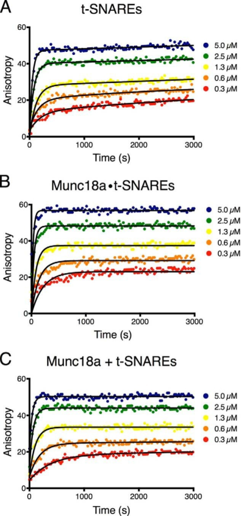Munc18a has no effect on the kinetics of cytoplasmic (soluble) SNARE complex formation. Representative traces of fluorescence anisotropy experiments monitoring SNARE complex formation with synaptobrevin-2(1–96)-A488 starting from t-SNARE complex (A), preformed Munc18a-t-SNARE complex (B), and t-SNARE complex with separate addition of Munc18a (C). Colored dots, experimental data; lines, exponential fits of the curves.