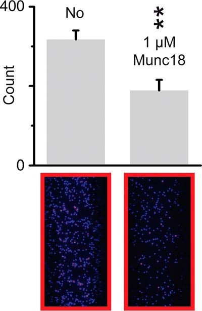 Munc18a sequesters syntaxin-1A and releases SNAP-25 from t-SNARE complex that is reconstituted in PM vesicles.Top panels, shown are the average number of labeled SNAP-25 molecules from 10 random imaging locations in the same sample channel before and after (120 min) 1 μm Munc18 addition. Bottom panels, representative fields of view. Error bars, S.D. Note that a purple spot indicates higher brightness. **, p < 0.01 using Student's t test.