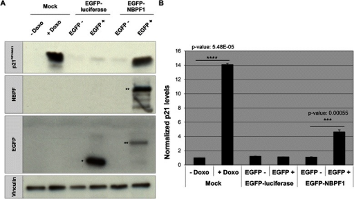 NBPF1 overexpression increases p21CIP1/WAF1 protein levels. (A) HEK293T cells were transfected with plasmids encoding either EGFP-luciferase or EGFP-NBPF1. Both EGFP-positive (+) and EGFP-negative populations (−) were isolated by FACS, and the protein levels of p21CIP1/WAF1 were detected by western blotting (top row). Treatment of cells with doxorubicin (+ Doxo) served as a positive control for p21 induction. Detection with the anti-NBPF antibody (sc-82241) showed the successful isolation of EGFP-NBPF1 transfected cells (second row). Detection with an anti-EGFP antibody (third row) showed successful isolation of transfected cells that were EGFP-luciferase positive (indicated by *) or EGFP-NBPF1 positive (indicated by **). Vinculin expression acted as a loading control (bottom row). (B) Quantification of p21CIP1/WAF1 signals in the blot of (A), normalized against vinculin signals. In addition to the positive control (+ Doxo), only cells expressing EGFP-NBPF1 showed clear induction of p21. p-values were calculated with one-way ANOVA
