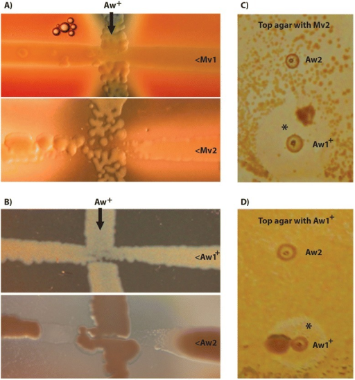 Growth and inhibition zones from bacterial cross streaks and on soft agar overlays. Representative A. wodanis strains positive for the bacteriocin locus (Aw+) were vertical streaked onto blood agar plates: A) A. wodanis 88/09/441, B) A. wodanis 06/09/139. Prependicular and in horizontal streaks: Mv1, M. viscosa 3632; Mv2, M. viscosa 06/09/139; Aw1+ (positive for the bacteriocin locus), A. wodanis 90/09/325; Aw2, A. wodanis 02/09/569. Reduced growth in the vicinity of Aw+ are illustrated for both M. viscosa (a) with Mv2 and for A. wodanis (b) with Aw2 where a clearly defined inhibition zone is observed. In the agar overlay method (c) and (D Aw1+ and Aw2 were first spotted onto the plates and grown to smal colonies before the agar overlay was added and bacterial suspensions of Mv2 (C) and Aw1+ (d) were plated on top. Colonies (Aw1+) surrounded by inhibition zones (marked with *) in the on-top bacterial lawn indicate bacteriocin activity