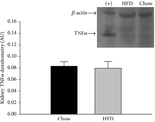 Renal tissue TNFα protein expression in chow and HFD rats. There was no difference in the TNFα expression of the two diet groups (n = 8/group). Retroperitoneal adipose tissue from a HFD rat was used as a positive control (+) and is shown in the first column. Data were analyzed by Student's t-tests and are expressed as means ± SEM. p = 0.803.